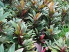 cordyline-shrub_-st_-thomas