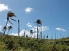 palm-disease-st_-kitts_