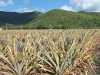 pineapple-farm_-antigua