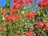 poinsettia-tree_-st_-kitts2_