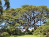 saman-tree_-st_-kitts_