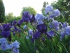 iris-in-our-yard