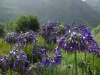 agapanthus-table-mountain