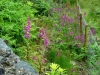 foxgloves-wild