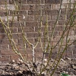 The Mystery of Rose Pruning