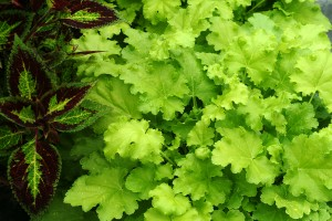 Coralbells 'Lime Rickey'