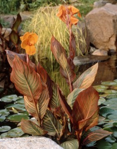 Canna 'Tropicanna' -- a guy jackpot plant... big, bold, bright.