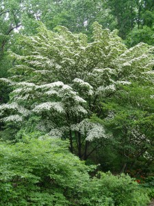 Kousa dogwood is a strong-wooded species.