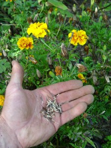 Seeds from some garden plants are easy to collect and easy to start. These marigolds are one example.