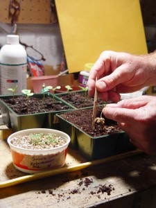 Use a small, pointy object to transplant young seedlings from the vermiculite to cell packs.