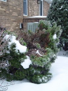 Gently remove ice or heavy snow splaying apart evergreens.