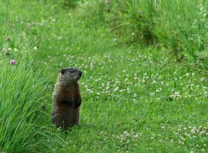 A groundhog looking for dinner.