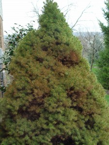 A dwarf Alberta spruce browning out from spider-mite attack.
