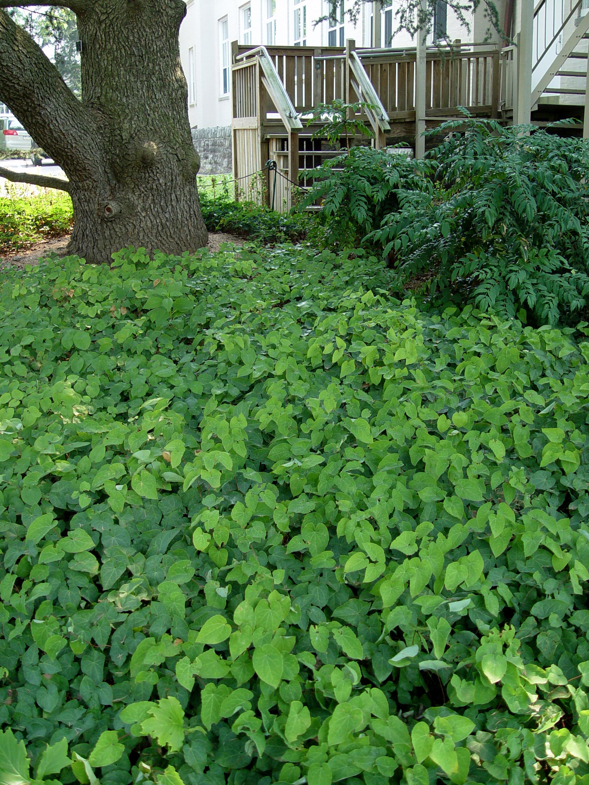Landscaping Under Elm Trees : Barrenwort massed as a groundcover