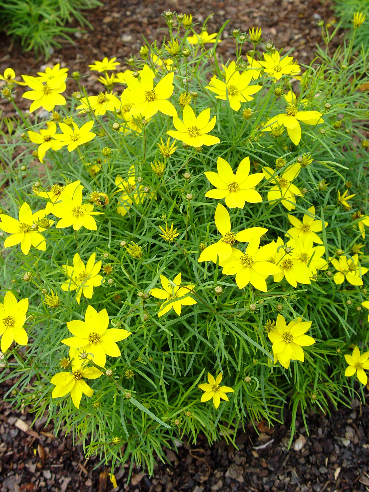 Coreopsis 39 zagreb 39 garden housecalls for Garden trees with yellow flowers
