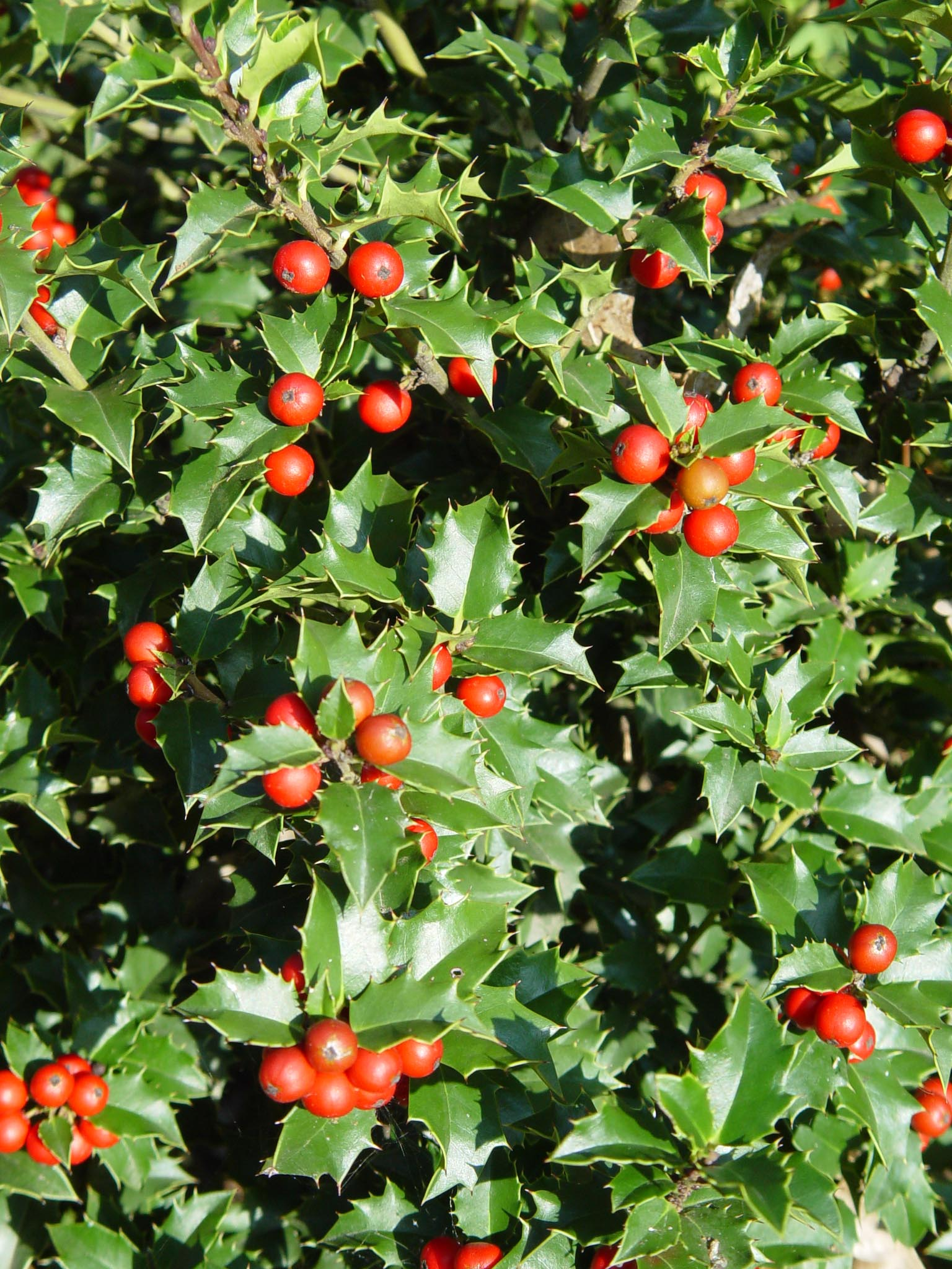 Holly Red Beauty