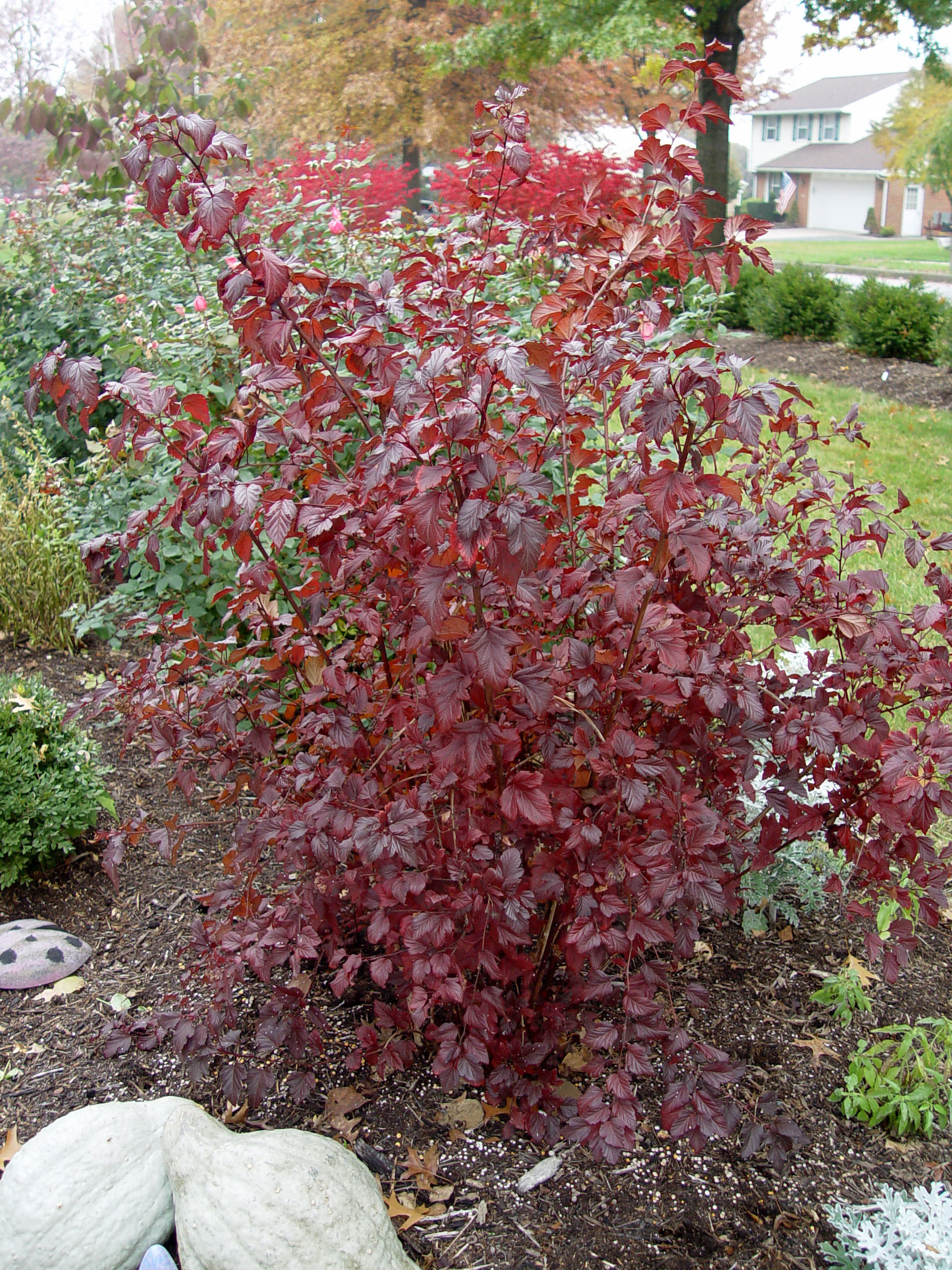 Ninebark_Shrub_Images http://georgeweigel.net/plant-of-the-week-profiles/flowering-shrubs/ninebark-summer-wine