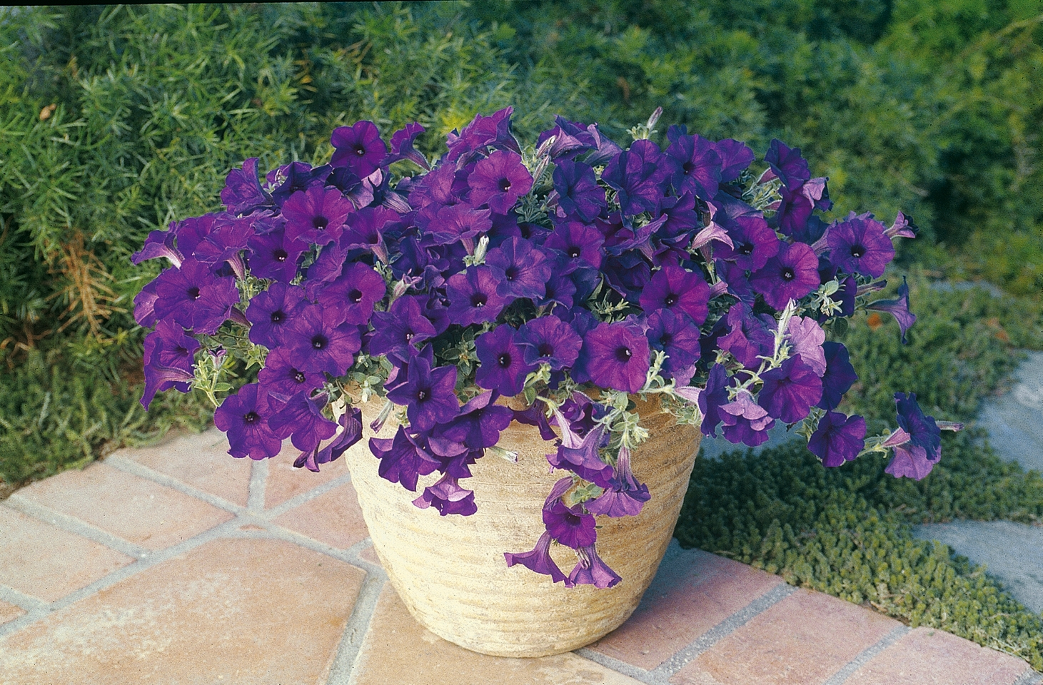 Gallery for blue wave petunias - Wave petunias in containers ...