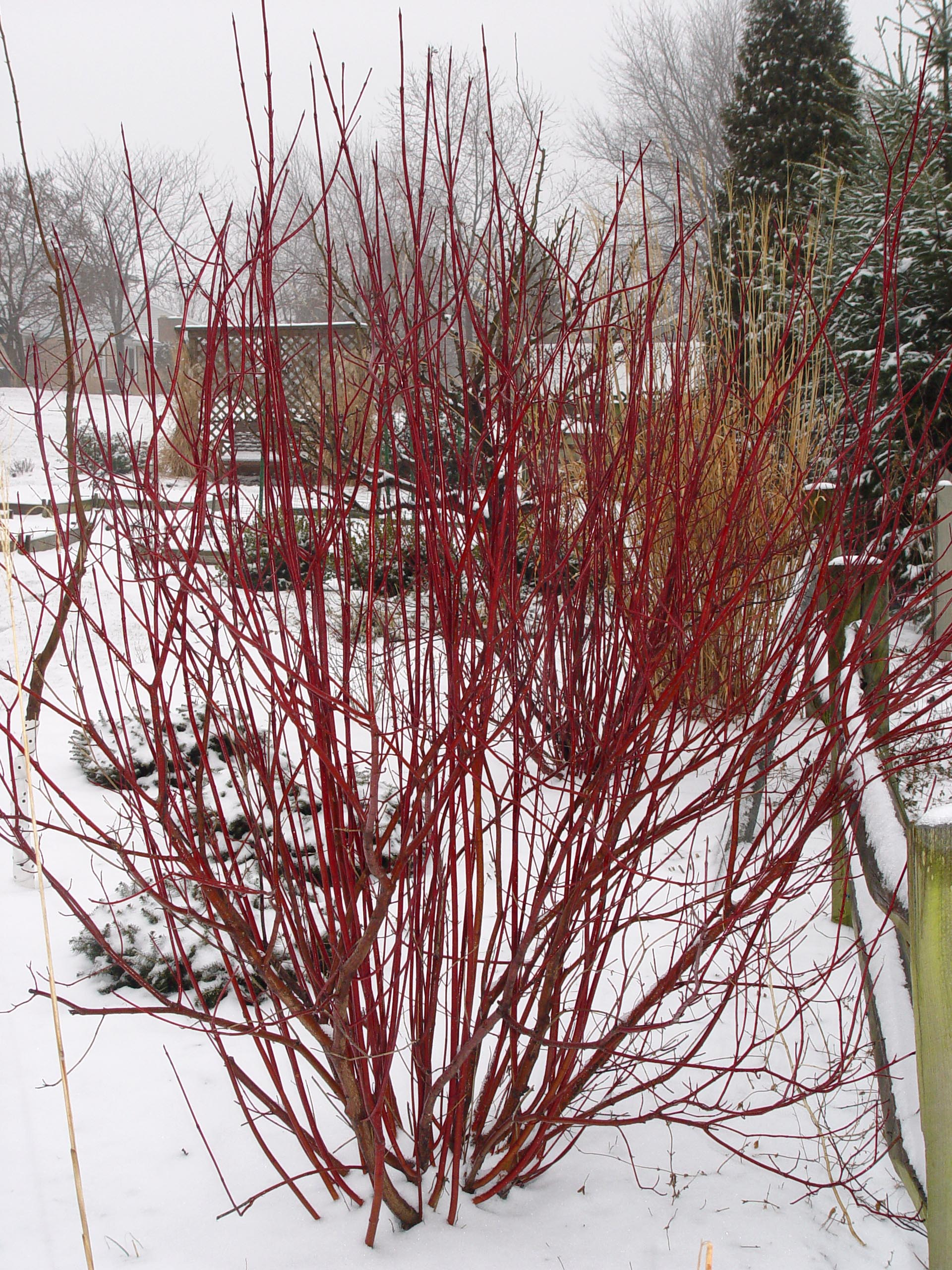 Red twig dogwood garden housecalls for Red twig dogwood