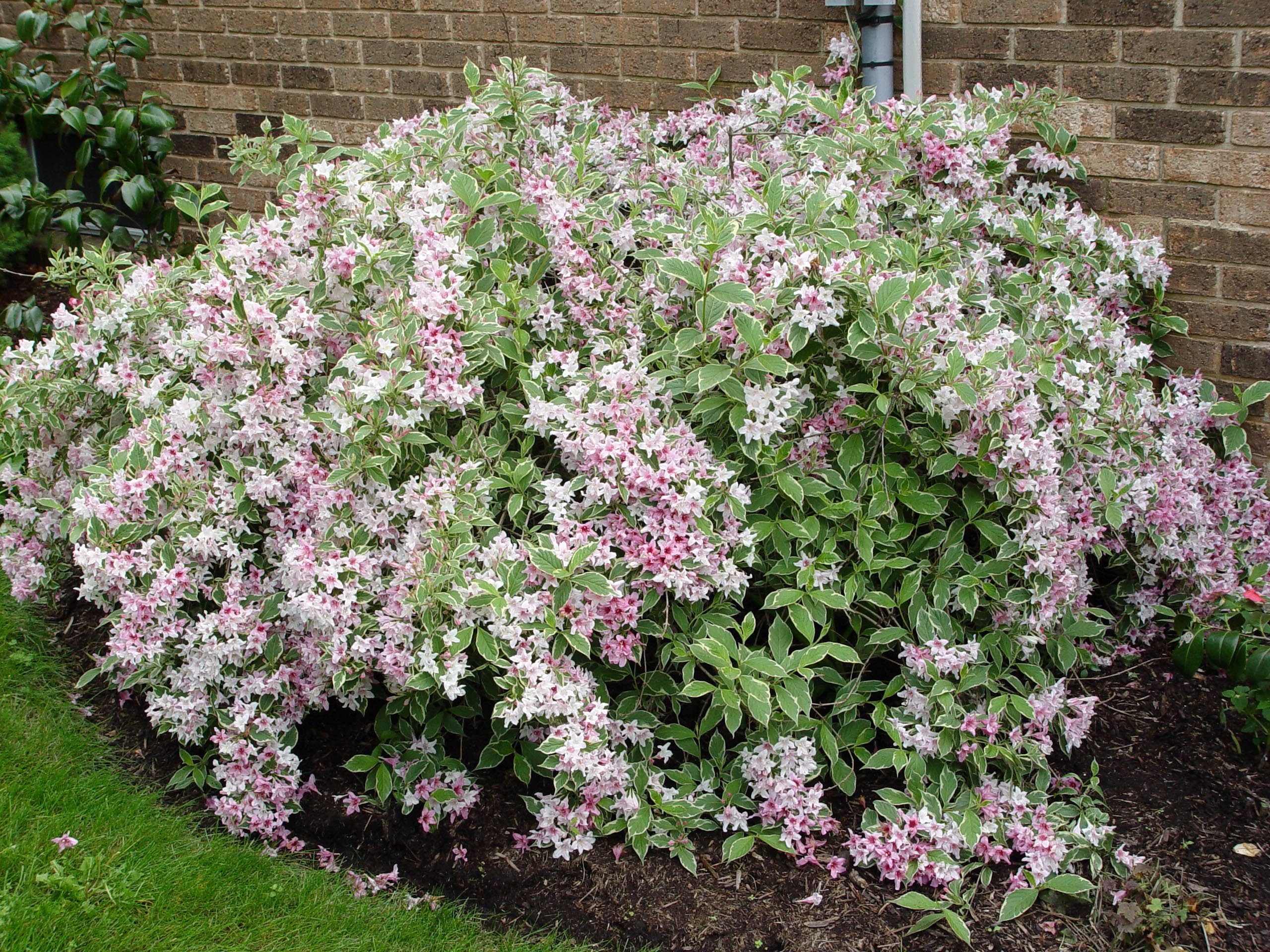 Variegated weigela | Garden Housecalls - 1118.1KB