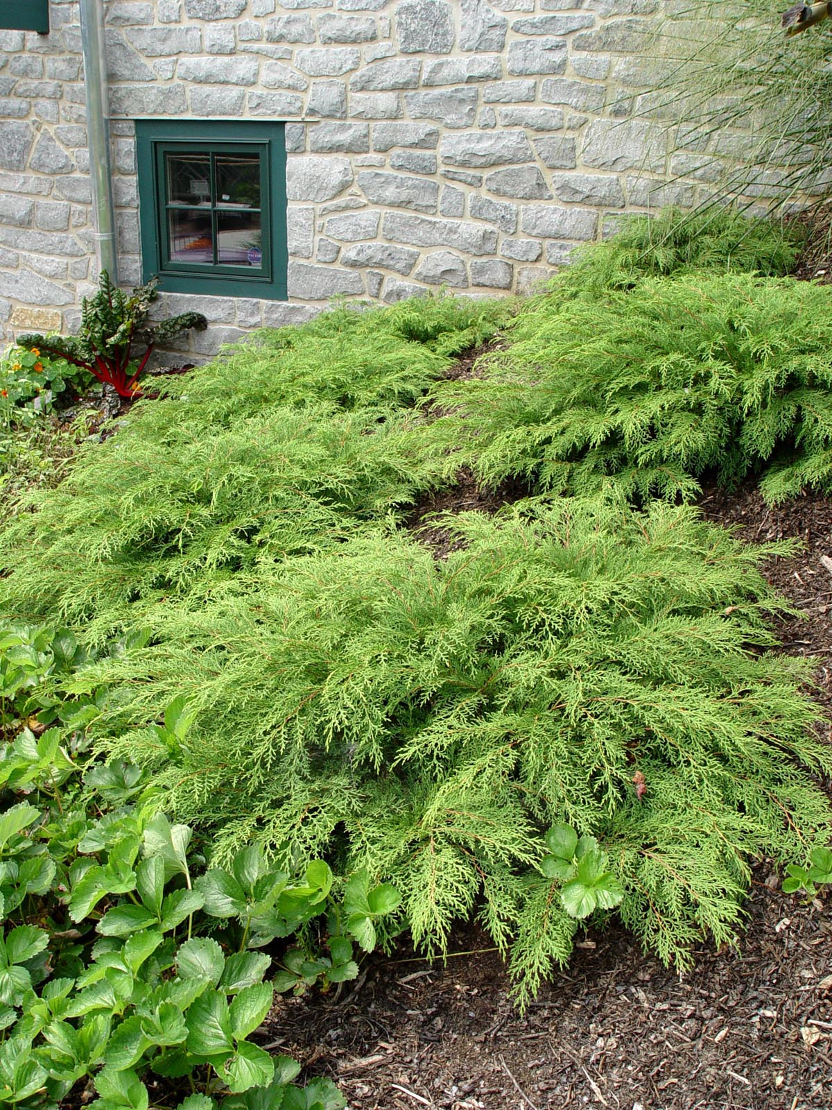 How to plant ground cover on steep bank - Russian Cypress