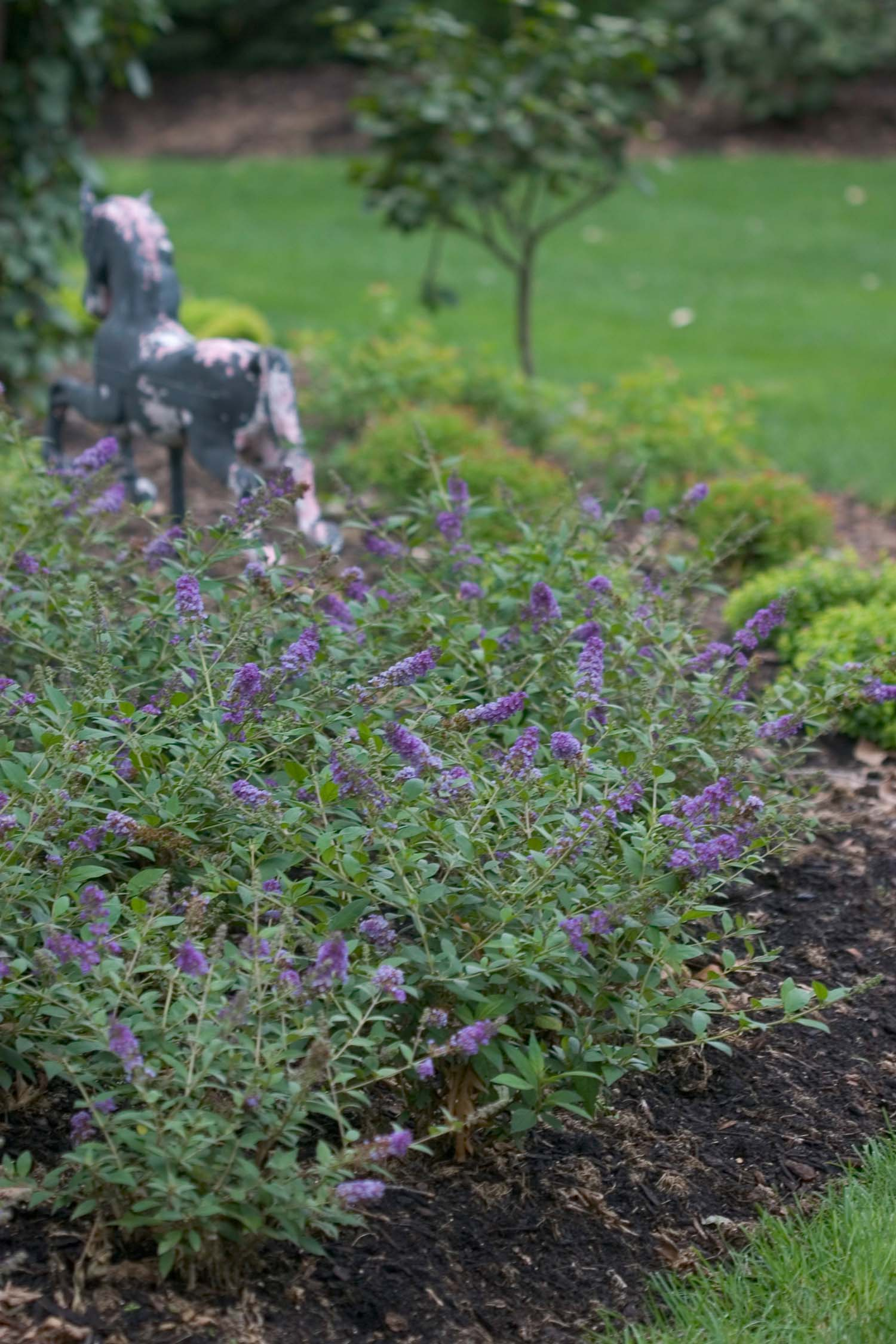Butterfly Bush Lo And Behold Blue Chip Garden Housecalls
