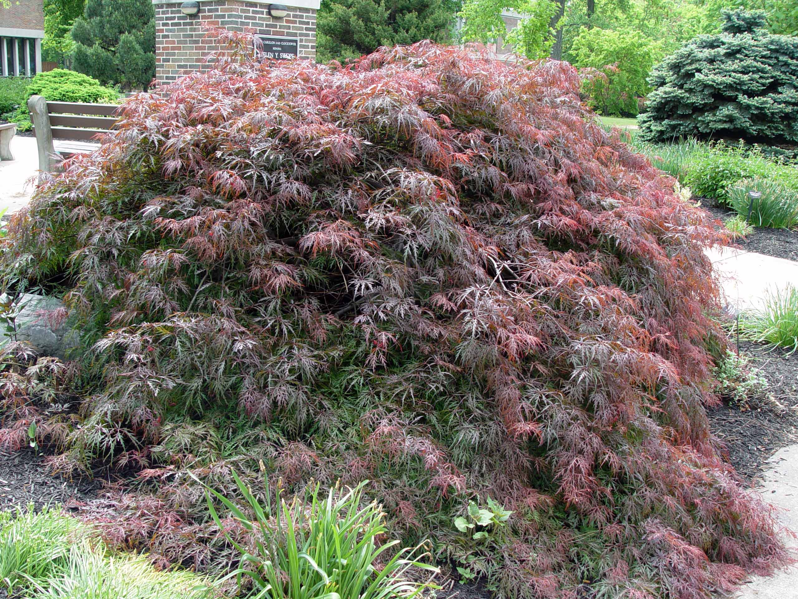 Weeping red cut-leaf Japanese maple