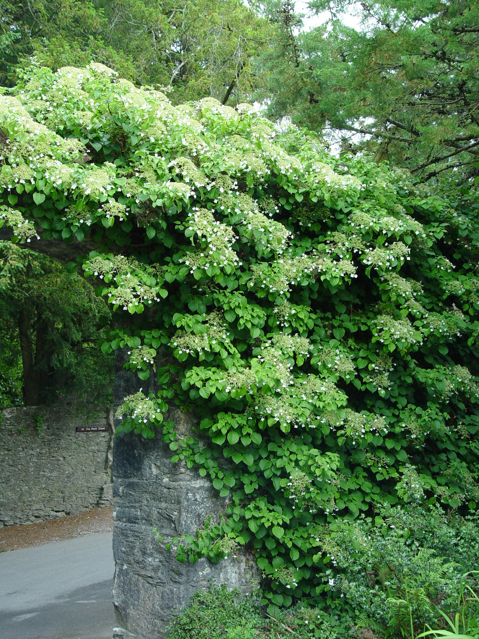 climbing hydrangea growing over an arbor.