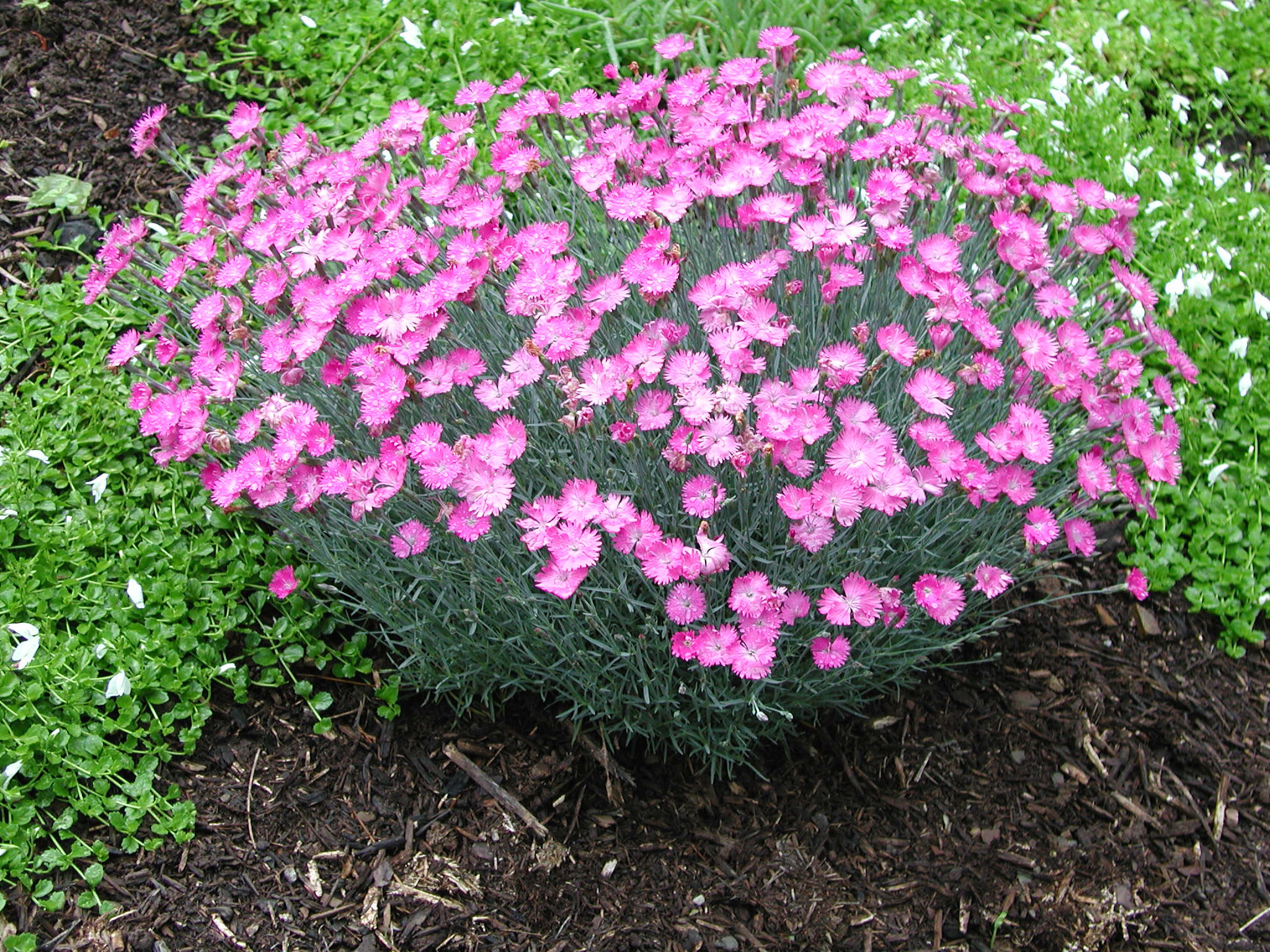 Dianthus firewitch garden housecalls for Fiori perenni