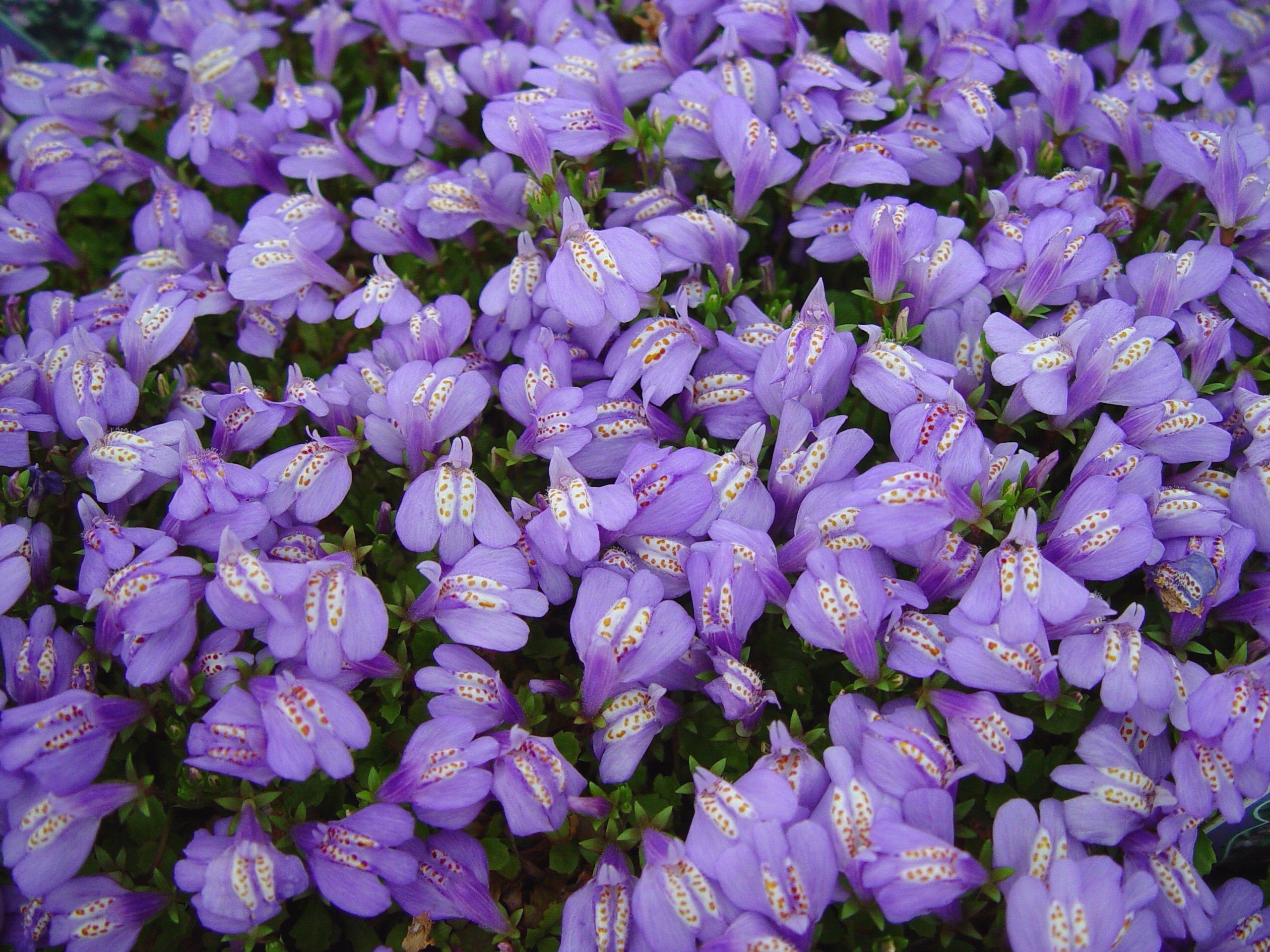 Down sizing the lawn garden housecalls for Purple flower ground cover perennial