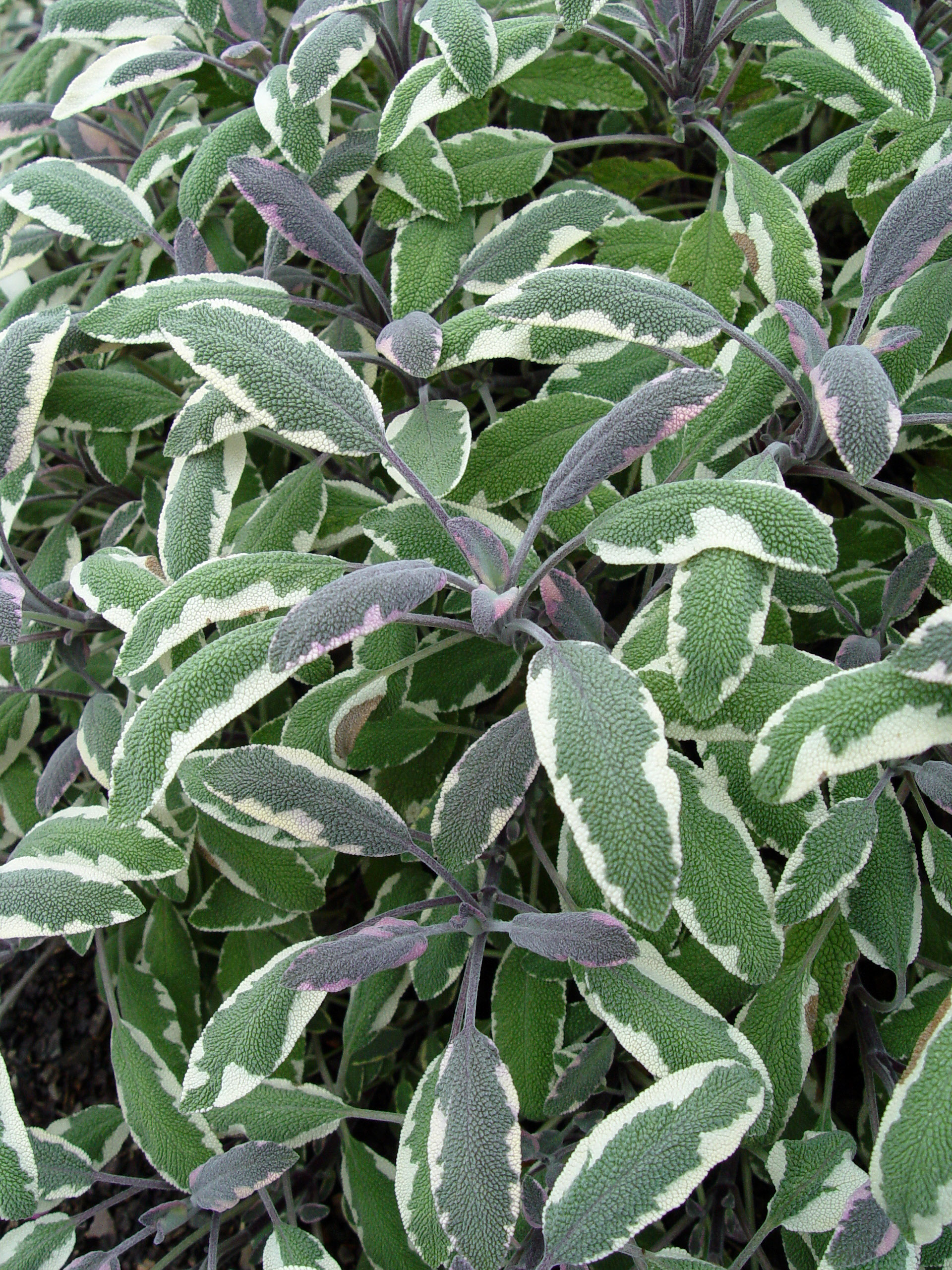 Tricolor Sage Garden Housecalls