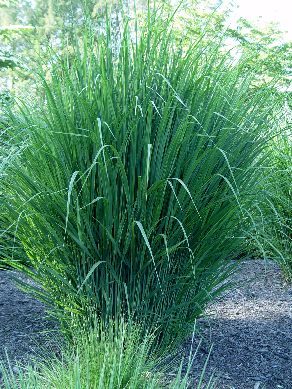 Switchgrass 39 northwind 39 garden housecalls for Common ornamental grasses