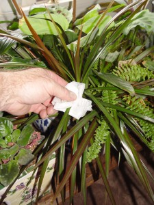 Rubbing alcohol on leaves with a paper towel can solve many houseplant bug problems.