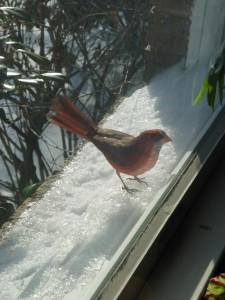 You'd think this window-pecking cardinal would've learned by now.