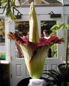 A corpse flower in bloom at the Seattle Volunteer Park Conservatory.