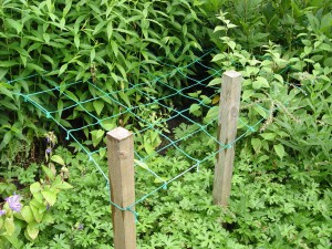 A net support like this in spring is a better way to solve tall, flopping perennials.