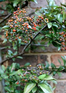 Fruits rotting on a pyracantha.