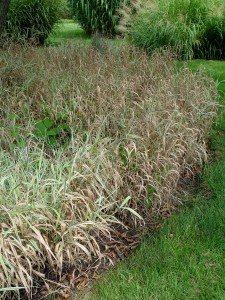 Ribbongrass on the march.