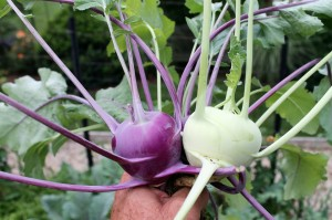 Kohlrabi 'Crispy Colors Duo'