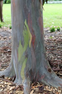 The colorful bark of a rainbow gum tree.