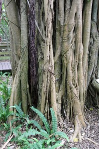 A strangler fig overtaking a palm.