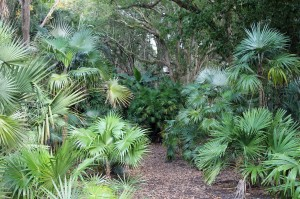 Some of the palms at the Harry P. Leu Gardens.