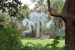 A beautiful specimen of a Bismark palm at Selby Gardens.
