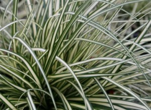 David Wilson's shot of carex 'Everest.'