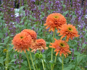 Terra Nova Nurseries' shot of coneflower 'Colorburst Orange.'