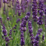 Best New Perennial Flowers of 2014
