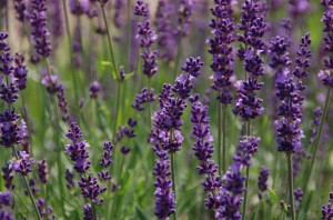 Peace Tree Farm's lavender 'Phenomenal.'