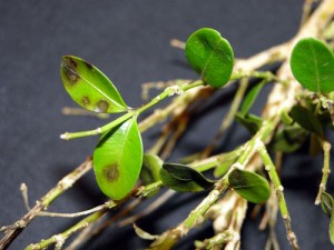 Early symptoms of blight are showing on this boxwood in a photo by Sharon Douglas of the University of Connecticut.
