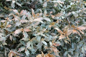Osmanthus 'Goshiki' foliage browned out by the winter's cold winds.