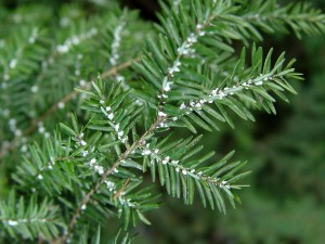 Hemlock woolly adelgids may have taken one of the biggest hits in the cold winter.